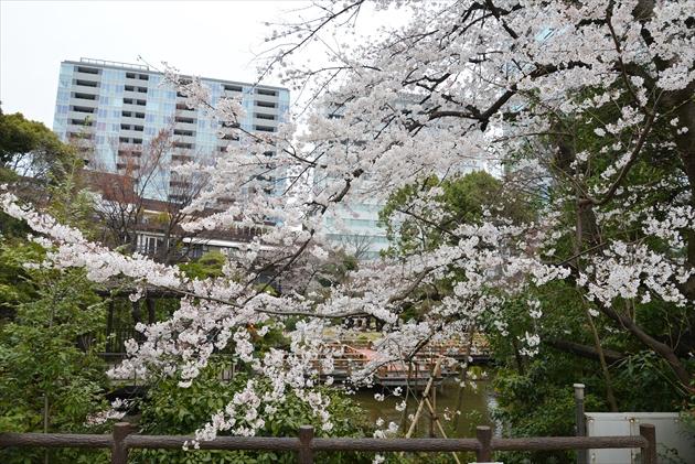 sakura-togo-2015-1